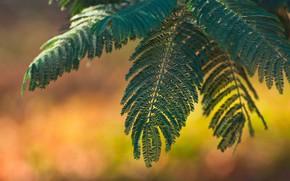 Картинка листья, макро, Акация
