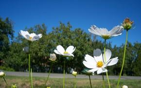 Картинка лето, цветы, белая, космея, Meduzanol ©