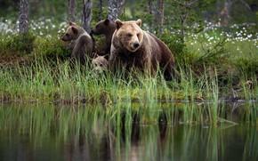 Картинка лето, трава, природа, отражение, берег, медведи, медвежата, водоем, медведица, бурые, три медвежонка