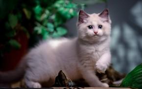 Картинка кошка, белый, взгляд, листья, поза, котенок, мордашка, боке, лапка, рэгдолл