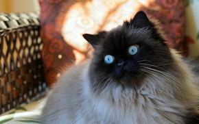 Картинка кошка, кот, взгляд, морда, кресло, подушка, сиамская, колор-пойнт, рэгдолл