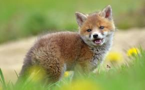 Картинка трава, взгляд, природа, поляна, весна, лиса, одуванчики, мордашка, детеныш, лисенок, лисёнок