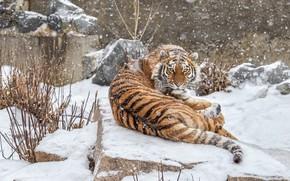 Картинка зима, взгляд, морда, снег, ветки, тигр, поза, камни, фон, спина, хвост, лежит, снегопад, зоопарк