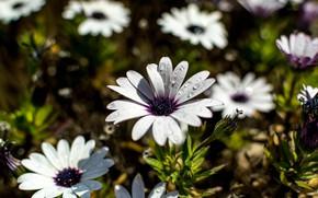 Картинка цветы, поляна, белые, остеоспермум