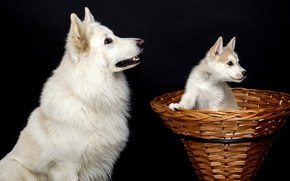 Картинка собаки, белый, взгляд, поза, корзина, две, собака, малыш, пара, щенок, профиль, белые, черный фон, парочка, …