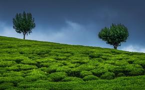 Картинка небо, деревья, Индия, два дерева, чайная плантация