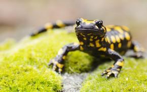 Картинка black, yellow, lizard, reptile
