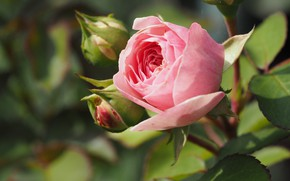 Картинка куст, розы, бутоны