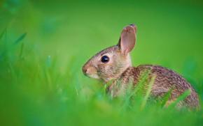 Картинка трава, природа, заяц, кролик, уши