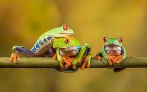 Картинка взгляд, макро, поза, фон, лягушка, лягушки, три, трио, желтый фон, троица, красноглазая квакша, три лягушки