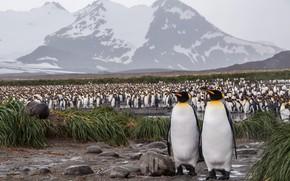 Картинка трава, горы, птицы, природа, берег, вершины, стая, пингвины, пара, парочка, дуэт, много, Антарктида
