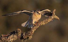 Картинка птица, ветка, чернокрылый дымчатый коршун