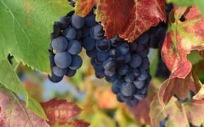 Картинка листья, куст, плоды, виноград, кисть