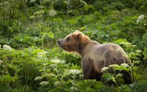 Картинка зелень, лето, трава, взгляд, морда, листья, цветы, природа, поза, зеленый, фон, заросли, стебли, растения, медведь, …