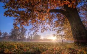Картинка осень, деревья, туман, парк, Россия, дуб, Пушкин, Царское село