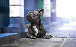 Картинка взгляд, собака, Французский бульдог