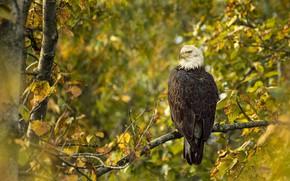 Картинка осень, лес, деревья, ветки, птица, листва, боке, белоголовый орлан