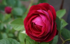 Картинка листья, крупный план, размытость, красная роза