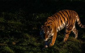 Картинка трава, взгляд, свет, природа, тигр, поза, темный фон, тень, лапы, прогулка, дикая кошка, крадется