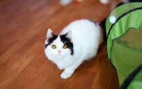 Картинка кошка, взгляд, поза, зеленый, котенок, черно-белый, корзина, малыш, паркет, пол, палатка, домик, котёнок, кошачий домик