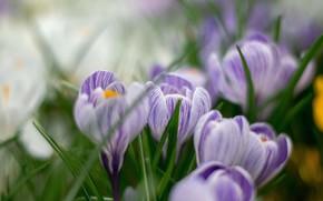 Картинка цветы, весна, крокусы
