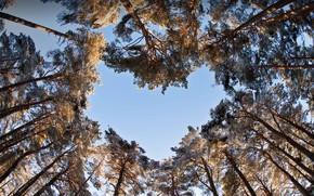 Картинка небо, деревья, сердце, сосны