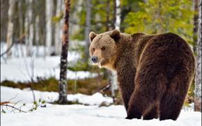 Картинка зима, лес, взгляд, снег, природа, поза, медведь, мишка