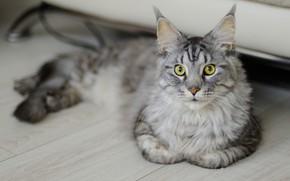 Картинка кошка, кот, серый, доски, лежит, мейн-кун