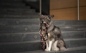 Обои взгляд, морда, город, собака, лестница, ступени, поводок, сидит, бордер-колли, держит в зубах