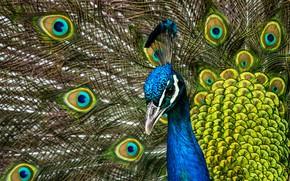 Картинка птица, портрет, перья, хвост, павлин