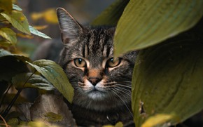 Картинка animals, cat, leaves, macro, blur, animal, cats, look, pet, glance, muzzle, stare, hide, 4k ultra …