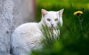 Картинка кошка, белый, трава, кот, фон, одуванчик, белая