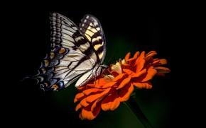 Обои цветок, фон, бабочка, цинния
