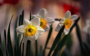 Картинка цветы, весна, нарциссы, флора, Неля Рачкова