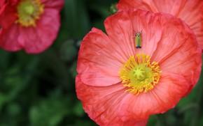 Картинка капли, макро, мак, насекомое