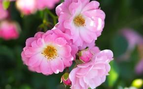 Картинка макро, розы, лепестки, розовые, трио, бутоны, боке