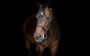 Картинка конь, лошадь, чёрный фон