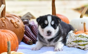 Картинка осень, природа, поза, фон, собака, малыш, тыквы, щенок, лежит, мордашка, хаски, сибирский хаски