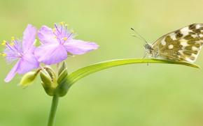 Картинка лето, макро, цветы, зеленый, фон, бабочка, листок, насекомое, розовые, пестрая