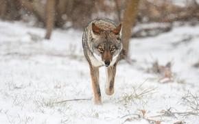 Картинка зима, взгляд, снег, природа, волк, прогулка, снегопад