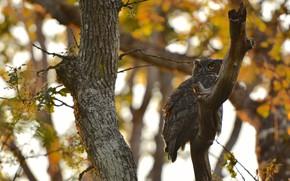 Картинка осень, ветки, сова, птица, филин