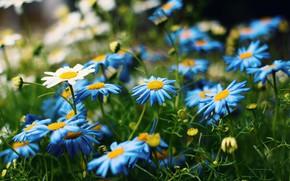Картинка зелень, лето, цветы, поляна, ромашки, голубые, белые, герберы, синие