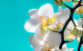 Картинка макро, цветы, белые, орхидеи, бутоны, голубой фон