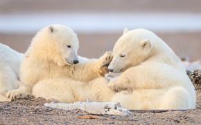 Картинка медвежата, парочка, белые медведи, детёныши, полярные медведи, два медвежонка