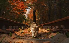 Картинка осень, кошка, глаза, кот, взгляд, листья, деревья, природа, котенок, рельсы, хвост, железная дорога, прогулка, котёнок, …