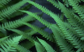 Картинка листья, зеленый, папоротник
