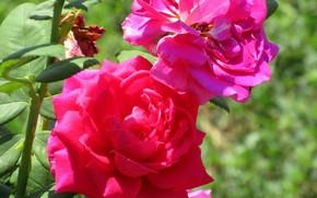 Картинка розы, Meduzanol ©, лето 2018
