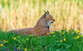 Картинка зелень, лето, трава, цветы, фон, поляна, весна, лежит, профиль, одуванчики, рысь, дикая кошка