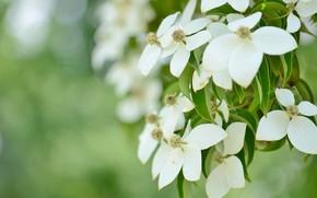Картинка цветы, нежность, белые