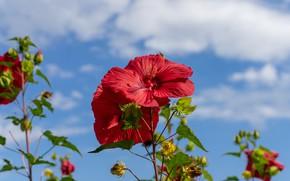 Картинка небо, облака, цветы, синева, стебли, красные, гибискус, гибискусы